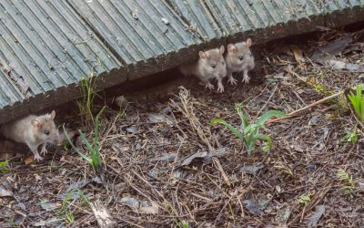 House Inspection Horror Stories – Keeping Rodents Under Control